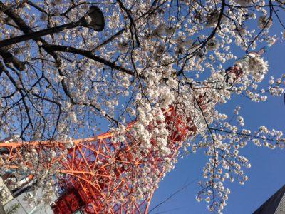 人が全くいない桜スポット!裏東京タワー
