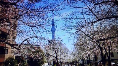 桜のトンネルからスカイツリー!山谷堀公園